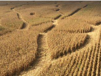 ii-labirynt-w-kukurydzy